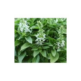 Basilic Floral spires Blanc Bio