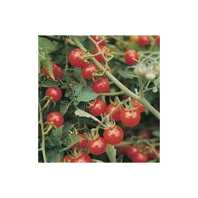 Graines Bio Tomate Rouge Matt's Wild Cherry Kokopelli