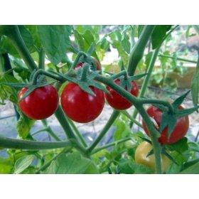 Graines Bio Tomate Cerise Rouge Ammbrosia Kokopelli