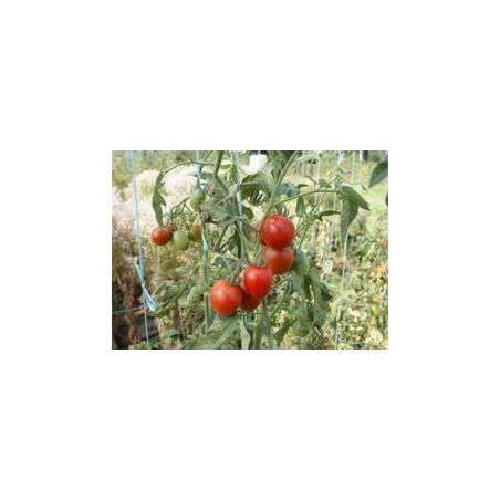 Graines Bio Tomate Rouge très précoce Stupice Stupické BIO Kokopelli