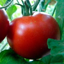 Graines Bio Tomate Rouge très  précoce Moravsky Div BIO Kokopelli